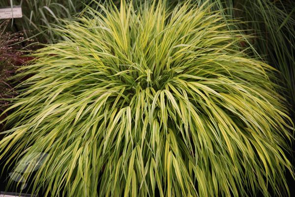 75 best garden ideas images on pinterest backyard ideas for Small decorative grasses
