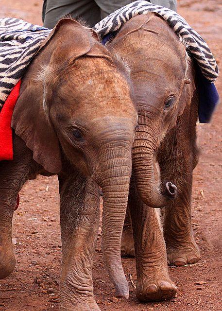 Baby elephants <3  at nursery in Nairobi National Park, Kenya. Photo by Photo Bug TA on Flickr.