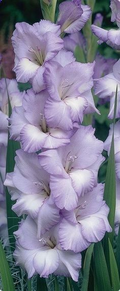 Flowers from Bulbs | Blue Frost Gladiola •