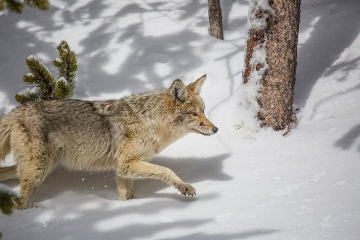 how to hunt coyotes in georgia