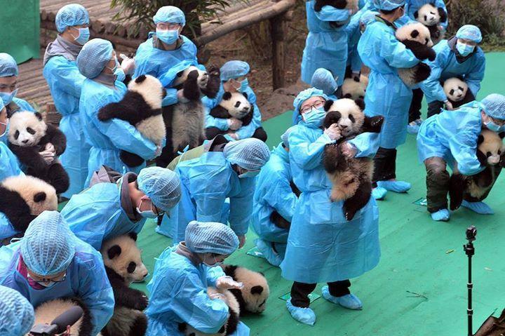 Come si fa a mettere in posa 23 cuccioli di panda (Chinatopix Via AP)