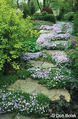 Woodland garden, stone path with Phlox subulata