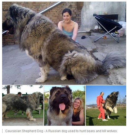 Caucasian Mountain Shepherd For Sale >> Caucasian Shepherd Dog - A Russian dog used to hunt bears and kill wolves. | Some Amazing Facts ...