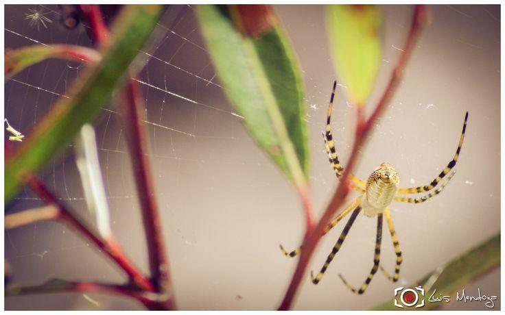 Araña Amarilla Rayada