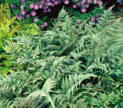 Athyrium niponicum pictum - Japanese Painted FernShipped Spring 2013