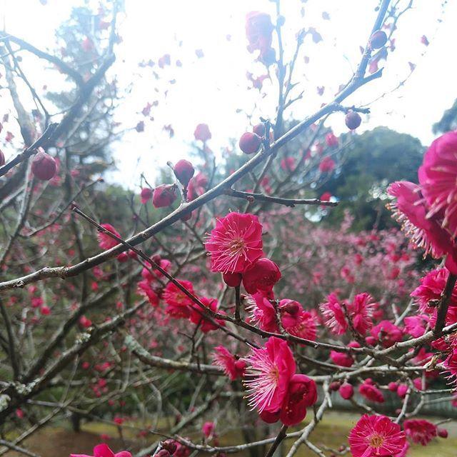梅 は 咲い たか 桜 は まだ か