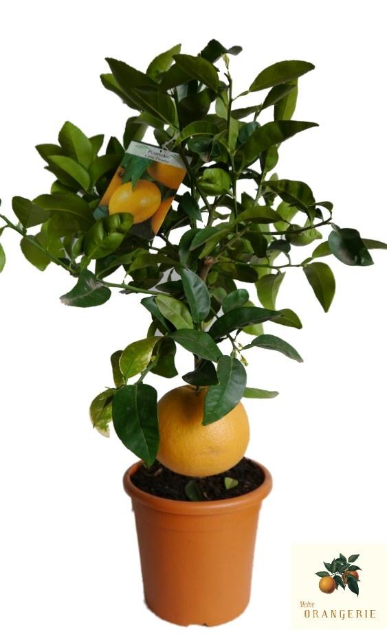 """Pampelmuse """"Mezzo"""" - Citrus maxima"""