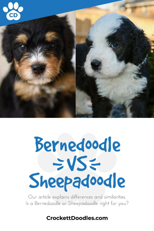 What's the difference between a Bernedoodle and a