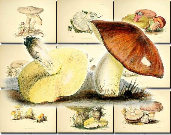MUSHROOMS-3 Collection of 50 vintage images champignon fungi agaricus acutesquamosus, agaricus glaucopus, agaricus lobatus, agaricus nictitans, agaricus reedii, agaricus sublanatus, agaricus subpulverulentus, auricularia mesenterica, Autumnal Prunulus, agaricus prunulus, Blue-stemmed Agaric, agaricus personatus, Box-like Agaric, agaricus pyxidatus, Bright-brown Peziza, peziza badia, Chestnut Boletus, boletus castaneus, Cornucopia Chanterelle, cantharellus c