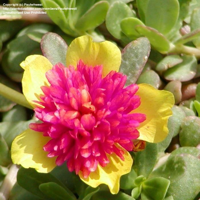 Purely ornamental on Pinterest   Plants, Sweet Potato Vines and ...