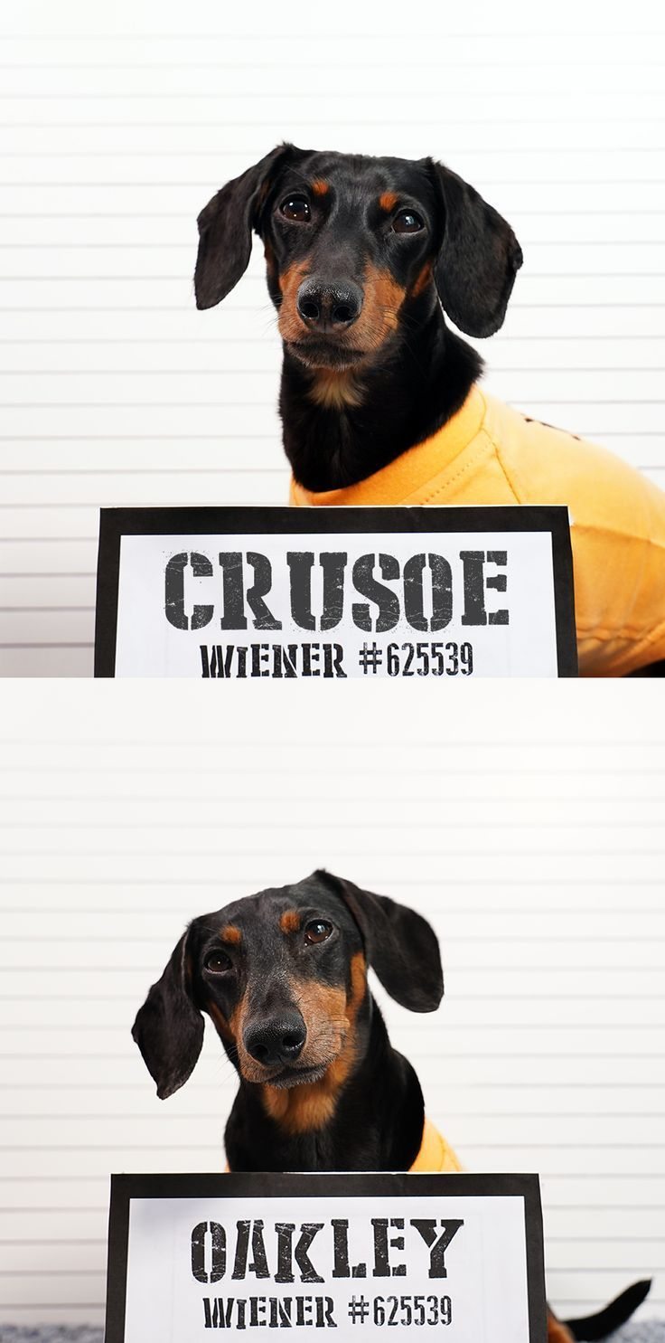Cute Dog Mugshots Dachshund Dachshunds Cutedogs Dachshund