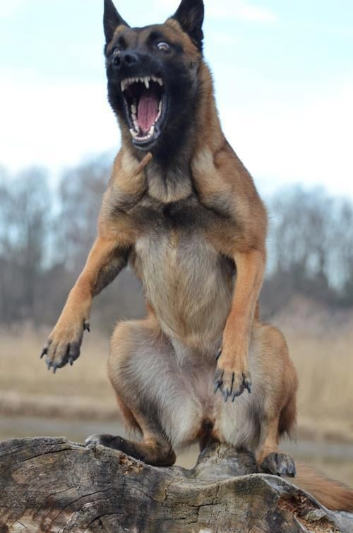 """Belgian Malinois. They're """"crazy""""!!!! ^_^   Dogs of war? RUN"""