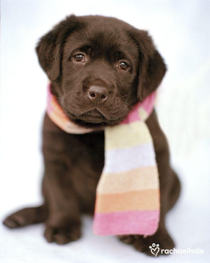 es marrón ,cariñoso , ordenado , es juguetón y obediente
