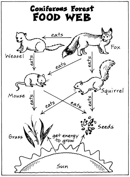 Coniferous Forest Food Web | Education.com