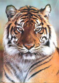 TIGRE DELLA MALESIA   gli habitat della tigre della malesia e del rinoceronte di sumatra ...