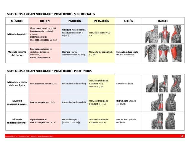 Anatomía   resumen músculos - miembro superior