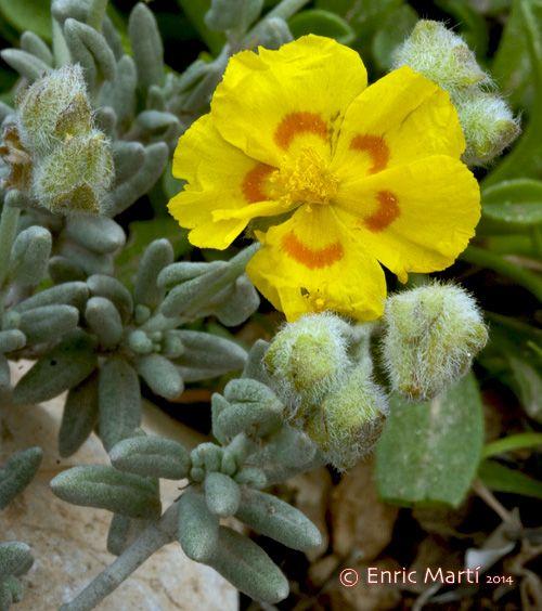 Flores Silvestres del Mediterráneo: Cistaceae: Helianthemum caput-felis