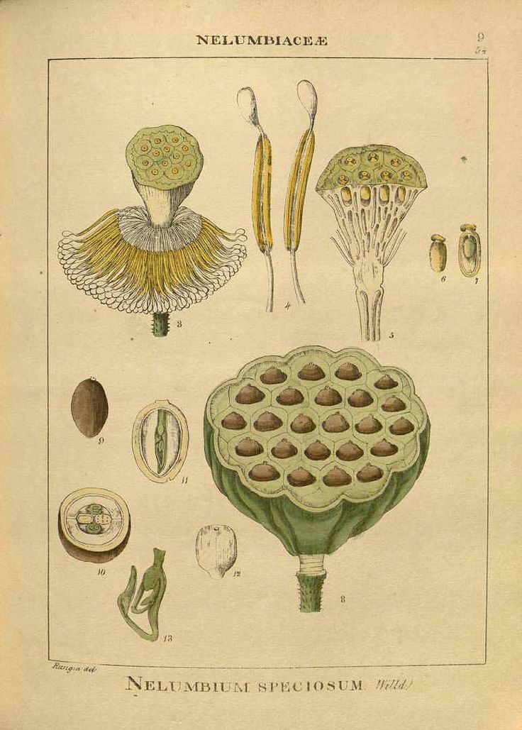 1202 best botanicals and scientific illustration images on Pinterest ...