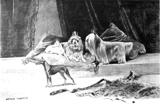 "Paisley Terrier aka ""silky"". Ancestor of the Yorkshire Terrier"