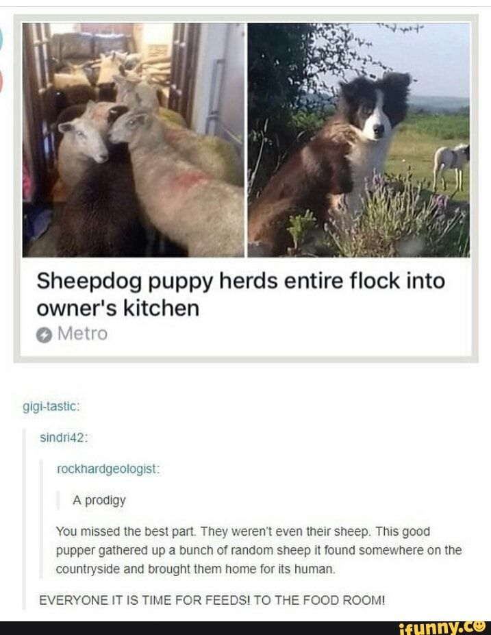 Imagine just walking downstairs and seeing a bunch of sheep in your kitchen XD