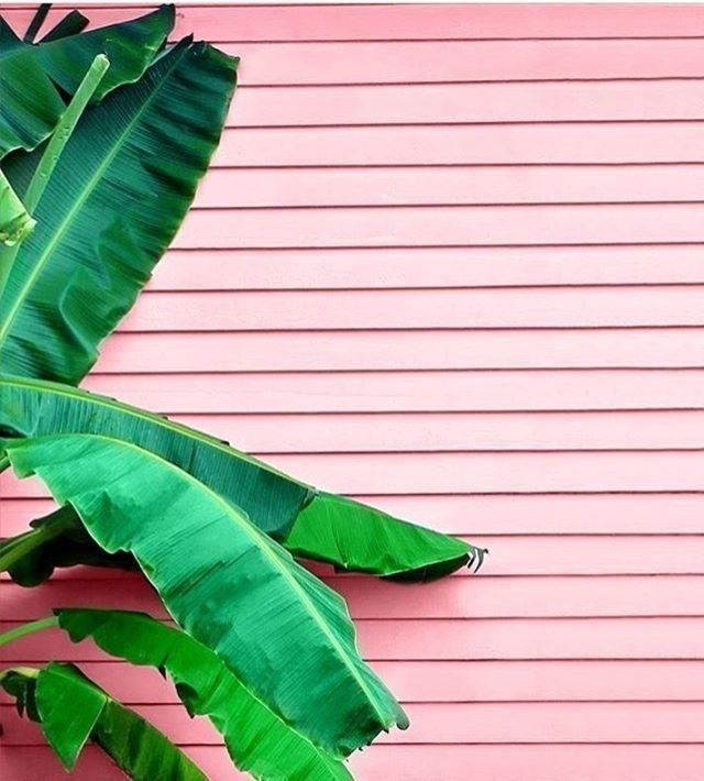 Pale Pink Clapboard Wall | Banana Leaf Plant