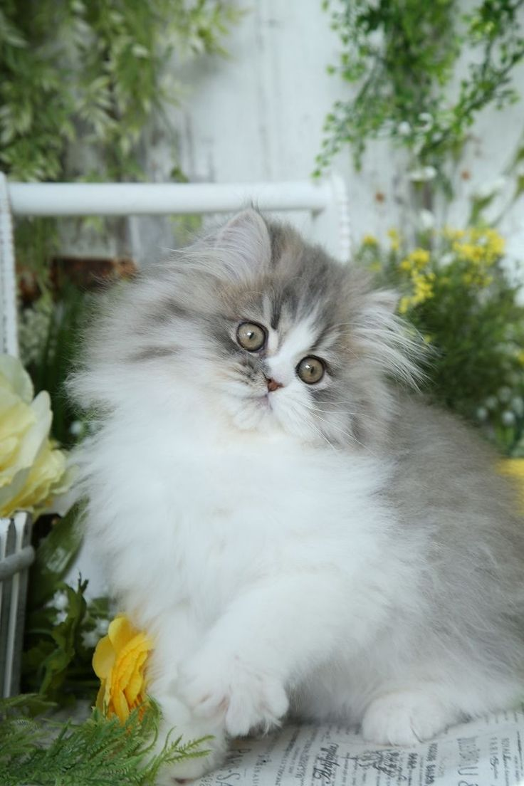 The 25 best Persian kittens for sale ideas on Pinterest