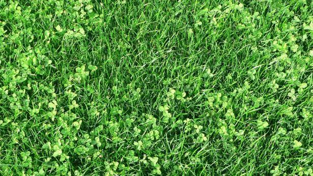 Nærbillede af græsplæne med mikrokløver