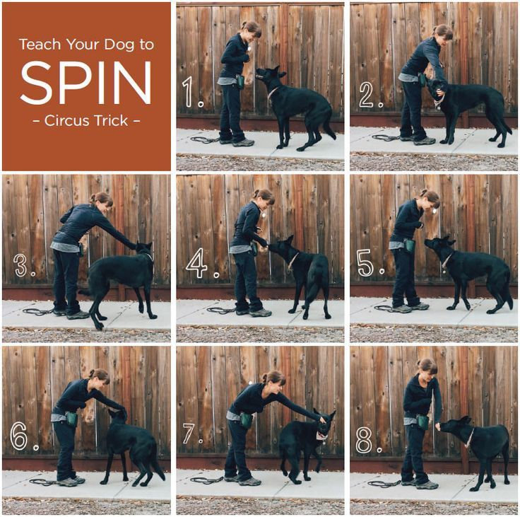Teach Your Dog An Easy Circus Trick: Spin #dogtraining