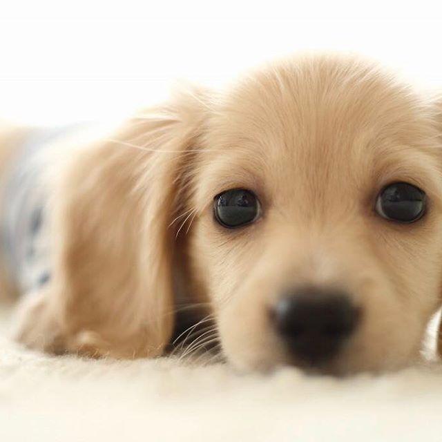 #愛犬 #ミニチュアダックス #ロングヘア #クリーム #パピー #パピッコ #キヤノン #EOS #1dxmarkii