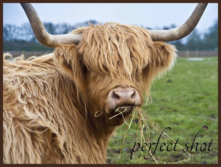 Highland cattle scottish highland cattle pinterest