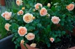 Learn about how to plant and care for rose bushes.  Where should a rose bush be planted, what soil is best for growing healthy roses, and how much  water and palnt food does a rose bush need.