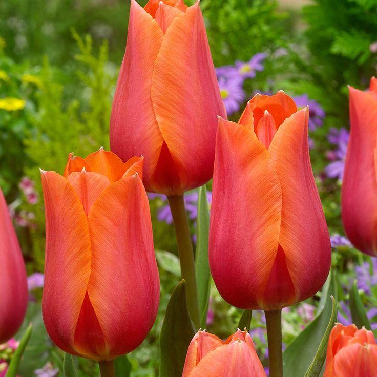 Buy tulip temple of beauty j parker dutch bulbs in 2020