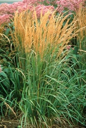 'Karl Foerster'  Feather Reed Grass  Height: 5'  Spread: 2'  Hardiness Zone: 5-8 however I have seen it listed as zone 4 and sold in Minnesota