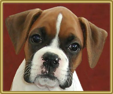 how to find a good boxer breeder