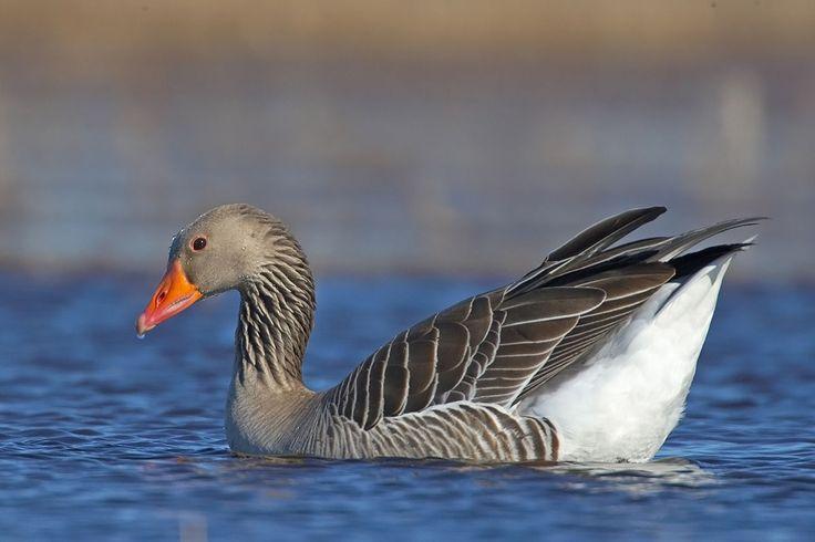 Oie cendrée (en appel mai à l'écart des canards)