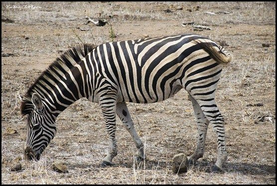 Burchell's Zebra - There are two species of zebra in Southern Africa, the Burchell's (or plains) zebra and mountain zebra.