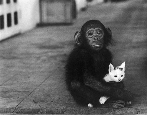 Baby chimpanzee holding a kitten at Dr. Albert Schweitzer's hospital in Gabon, 1954.