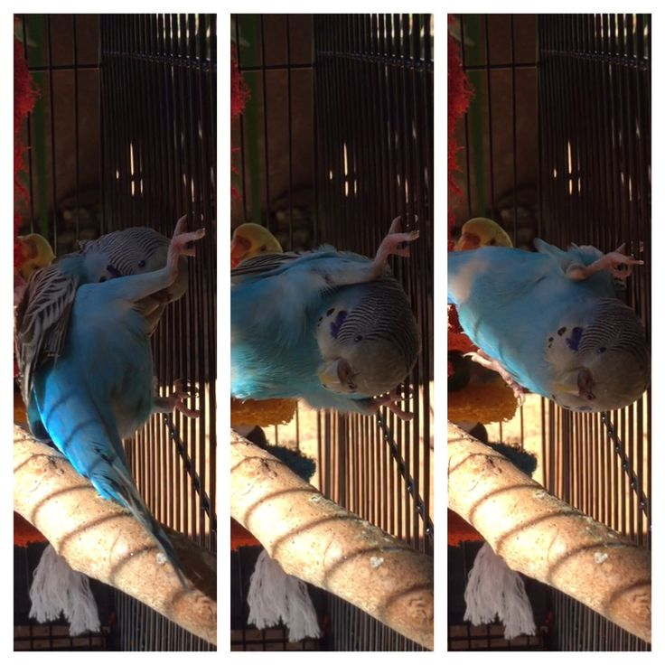Budgie playing