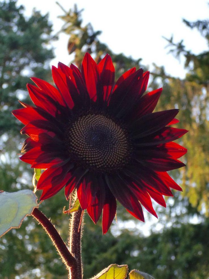 "I want this to plant with my ""teddy bear"" Sunflowers this year! Sunflower 'Moulin Rouge'"