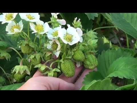 ДРОЖЖИ - СИЛЬНОЕ КОМПЛЕКСНОЕ удобрение для всех растений! - YouTube