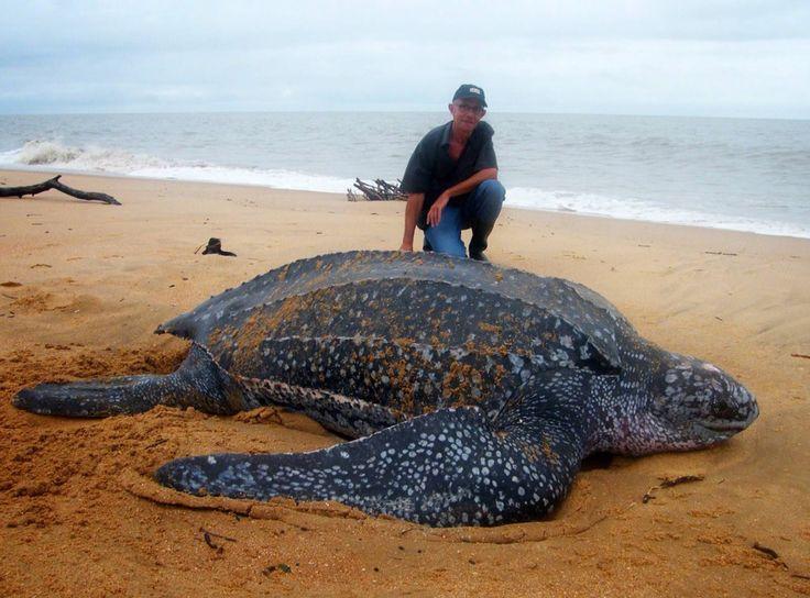 zo groot?!!!  Reuze schildpad, giant turtle on Galibi Beach, Surinam