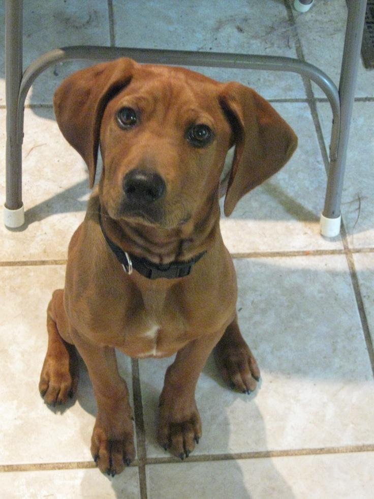 Redbone coonhounds adoption