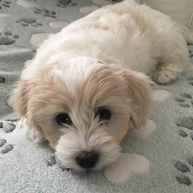 Good-by and Hello new life.  今日は第1子ちゃんが巣立っていきました。ターナも後追いすることもなく無事に送り出すことができました。 ここで生まれ育った過去よりも、これからの時間が彼女には大事なこと。 そう自分に言い聞かせて、彼女の永遠の幸せを信じ祈ります。 @cotoncookie #cotondetulear #cotonpuppy #puppylove #cutepuppy #instapuppy #dog #doglovers #instadog #愛犬 #子犬 #犬のいる暮らし #犬バカ部 #コトン #かわいい #イギリス生活