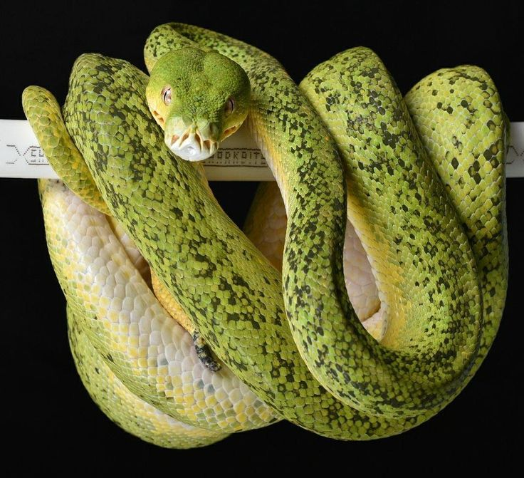 """566 Likes, 5 Comments - Green Tree Pythons  (@greentreepythons) on Instagram: """"Follow @greentreepythons for more pictures   Credit: Bart Ulman  #greentreepython #gtp #chondro…"""""""