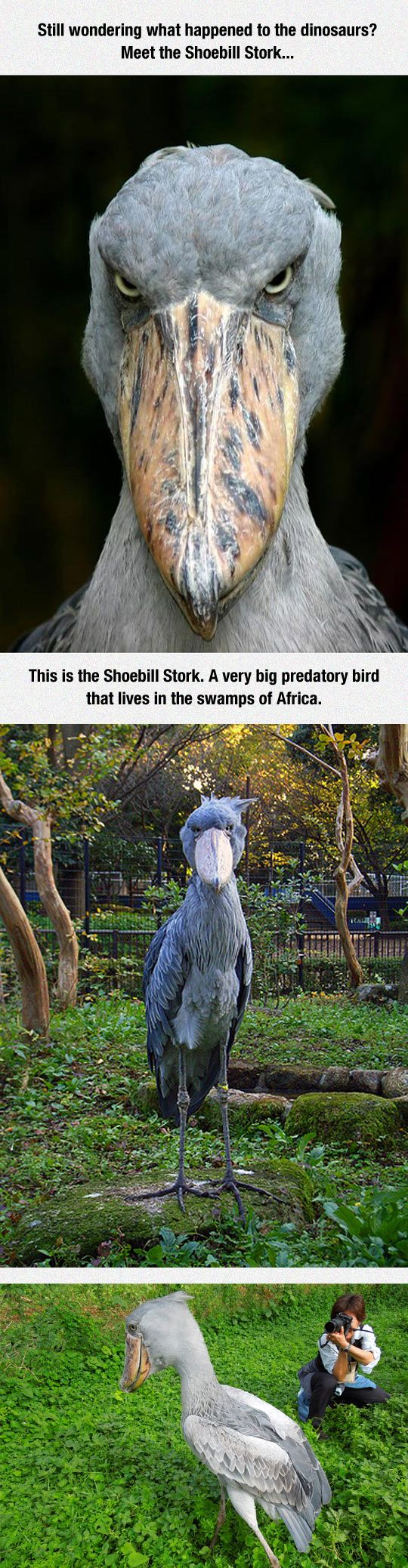 Meet The Shoebill Stork