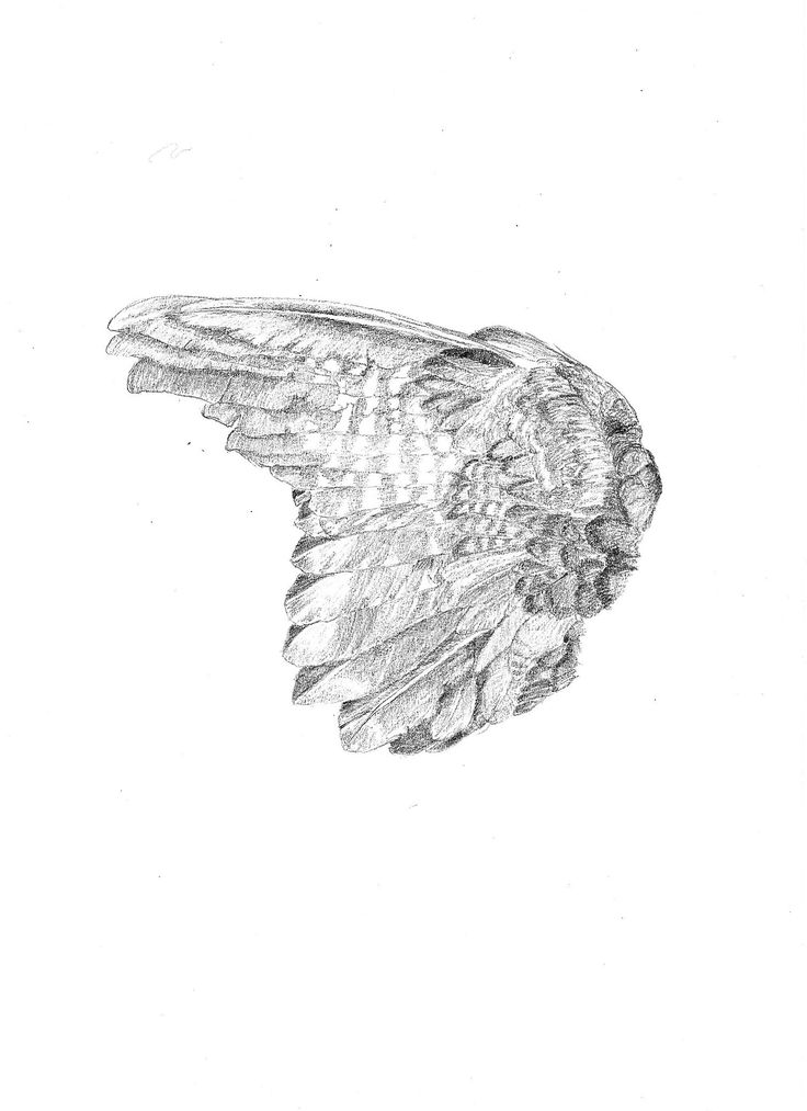 North Island Kaka wing, Nestor meridionalis