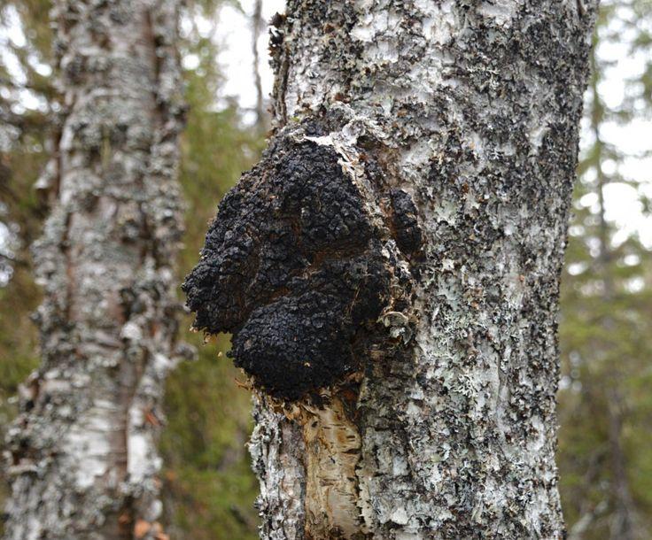 Chaga, eller kreftkjuke, er en medisinsk sopp som vokser på bjørketreet, og kan i sjeldne tilfeller også finnes på osp. Den har en sirkumboreal utbredelse og vokser i bjørkeskoger i Skandinavia, Øst-Europa, Russland, Korea og i de nordlige delene av Nord-Amerika. I Norge er chaga utbredt over hele landet, men finnes sjelden i store mengder. Soppen har vært kjent blant de norske samene i generasjoner.