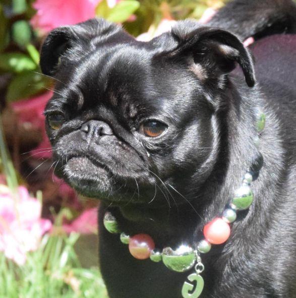 PUG TALK: GWEN THE BLACK PUG! — Pug Jokes