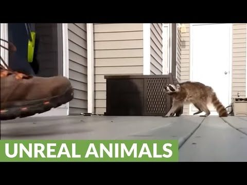 Mother raccoon attacks man to protect babies http://www.lakatate.com/index.php/latest-videos/3144-mother-raccoon-attacks-man-to-protect-babies?utm_source=social&utm_medium=pin&utm_campaign=daily