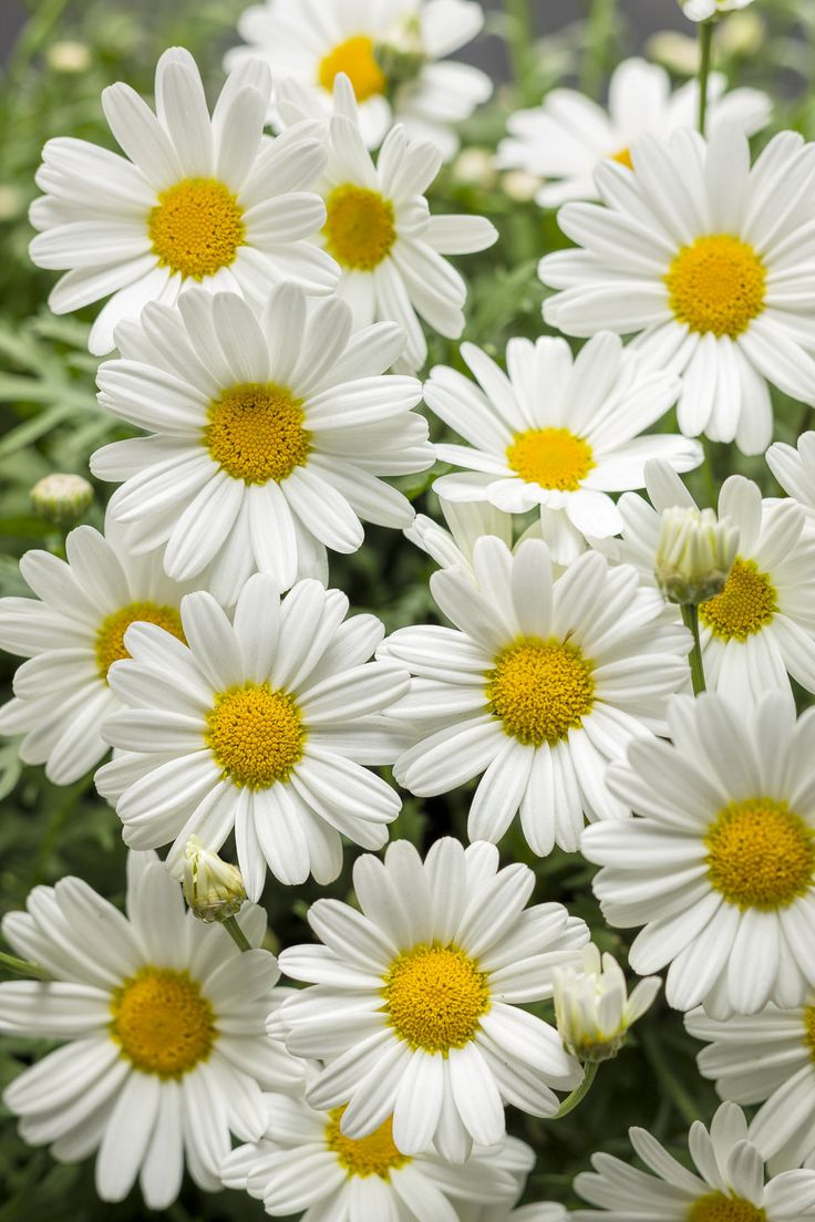 458 best spring moments images on pinterest daisies proven winners pure white butterfly marguerite daisy argyranthemum frutescens white true white plant details information and resources dhlflorist Choice Image